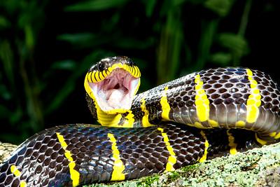 Mangrove Snake,  Boiga dendrophila