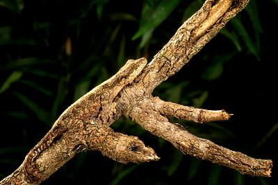 Flying Gecko,   Ptychowon sp.
