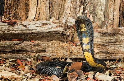 Black Pakistan Cobra,  Naja naja karachiensis