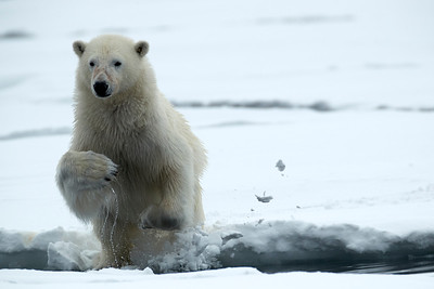 Polar Bear Jump
