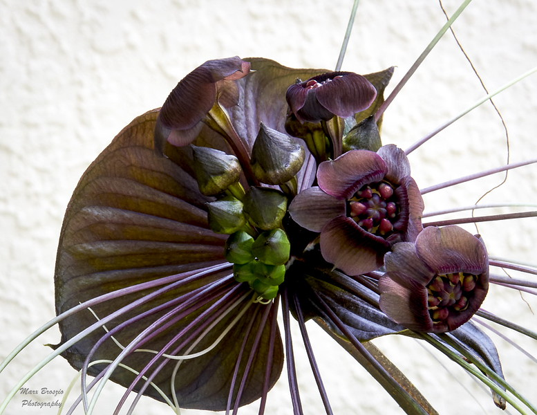 Tacca Flower
