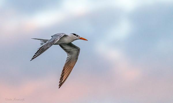 Royal Tern at Sunrise