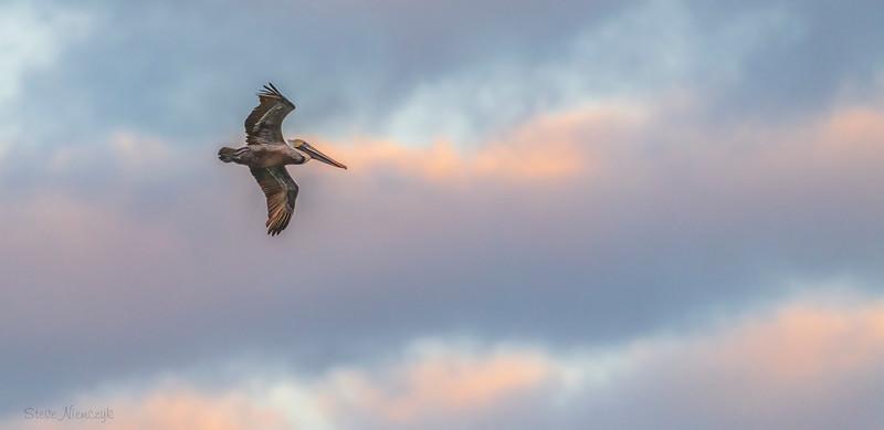 Pelican at Sunrise