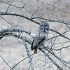JOANNE KENNEDY/ P-R PHOTO<br /> A rare sighting, a great gray owl perches on a branch while searching for its next meal in the field below. Birders and photographers from surrounding states and Canada are flocking to the small Town of Keene to catch a glimpse of the large raptor.