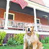 KAYLA BREEN/ STAFF PHOTO<br /> Booboo, a golden retriever, cools off from the sun by shading himself under the United States flag outside the home of his owners, Steve and Svetlana Henry, on the U.S. Oval in Plattsburgh.