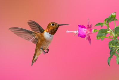 Rufous Hummingbird -male