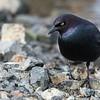 Brewer Blackbird - Male