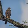 Peregrine Falcon on Skyline Drive