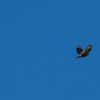 Barn Swallow - this shot is a twofer for my Big Year my first Barn swallow chasing my First Sharp-shinned Hawk