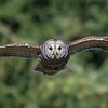 Barred Owl In-flight