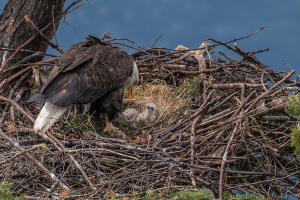 Two Chicks annd Mom