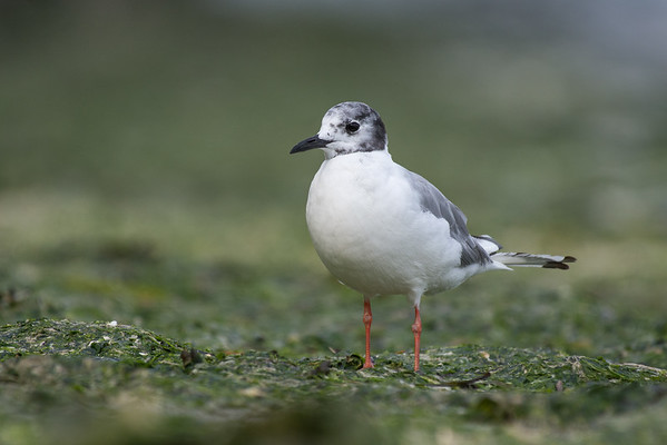 Bonaparte's Gull losing its breeding plumage