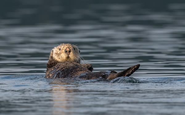 Sea Otter female