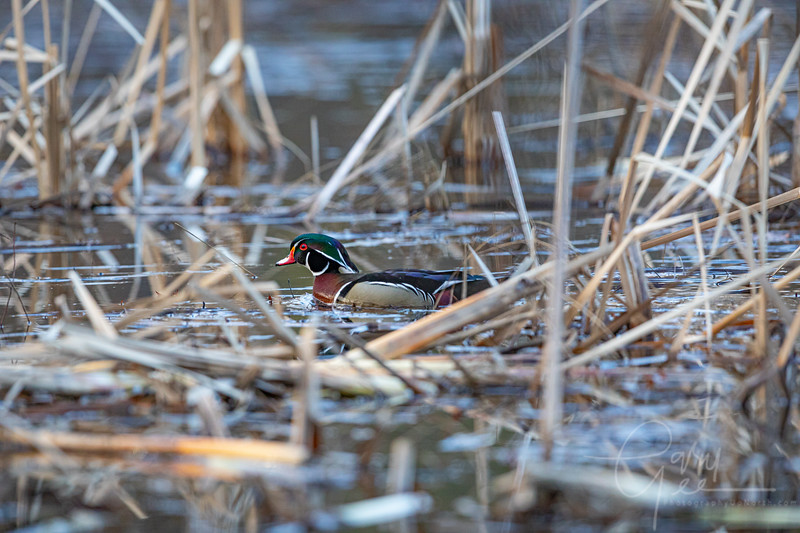 Drake Wood Duck in Catails
