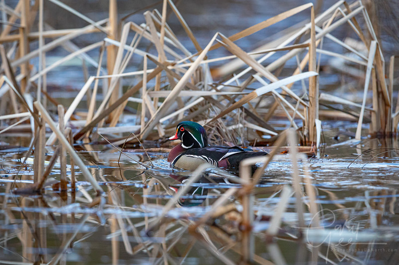 Wood Duck in the catails