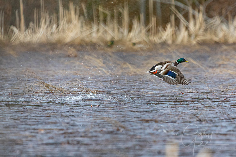 Drake Mallard takes flight in the rain