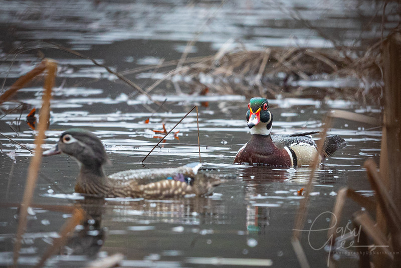 Wood Duck Pair in the rain