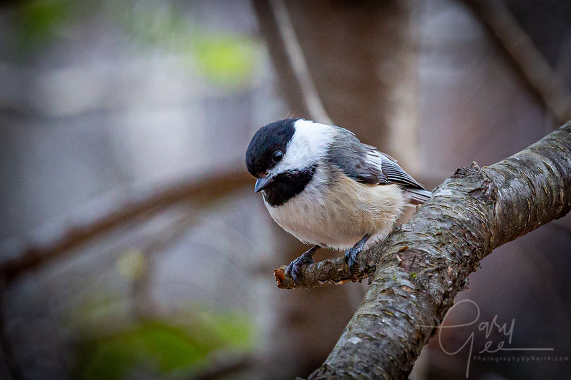Chickadee right outside the blind