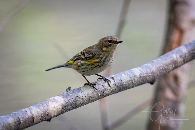 Yellow Rump Warbler - Fall 2021