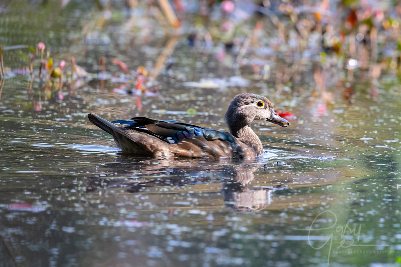 Immature Drake Wood Duck - Fall 2021