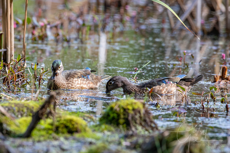 Immature Wood Ducks - Fall 2021