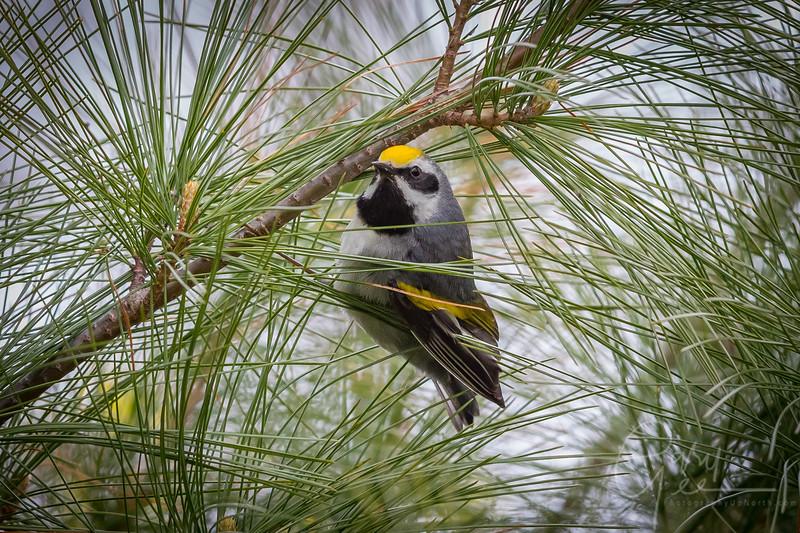 Golden Winged Warbler