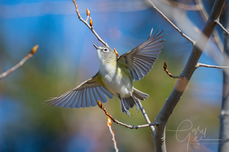 Blue Headed Vireo