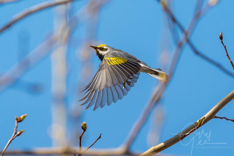 Golden Winged Warbler takes flight