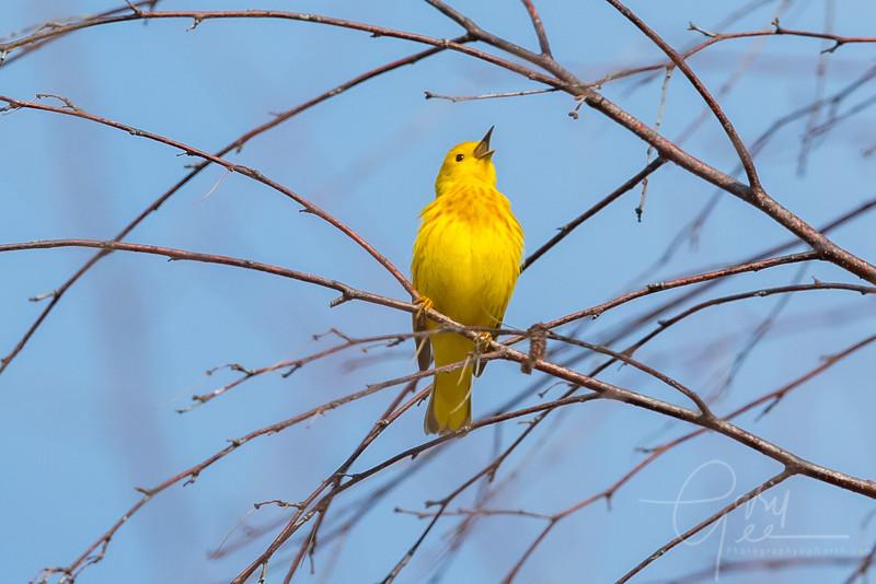 Yellow Warbler High up