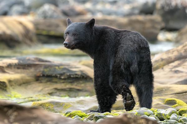 Stare Bear