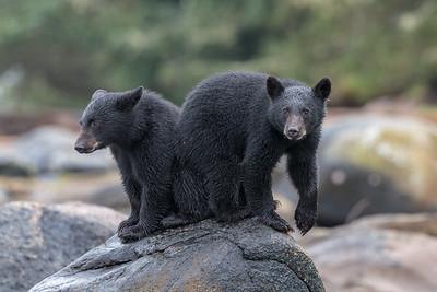 SWR's Cubs