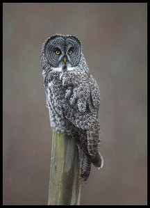 Great Gray Owl (NW Washington)