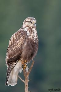Rough legged Hawk 6369