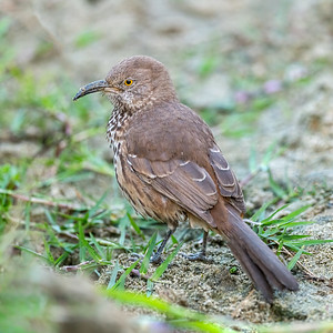 Gray Thrasher