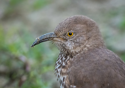 Portrait of a Gray Thrasher