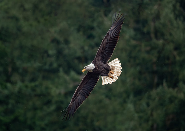 Rainforest Eagle