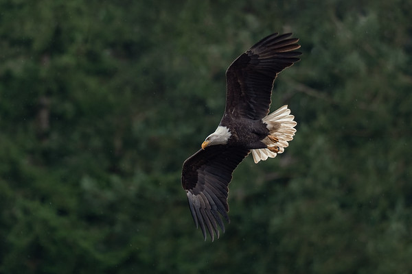 Rainforest Eagle 2