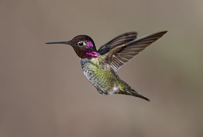 Anna's hummingbird , male