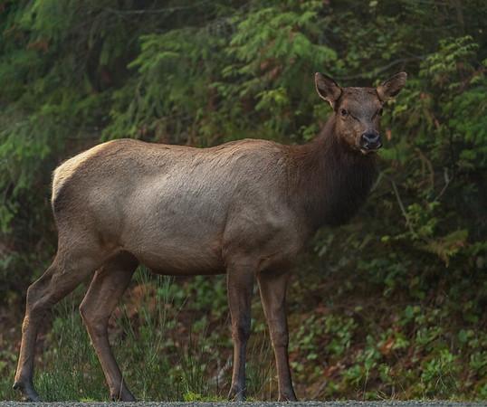 Roosevelt Elk female