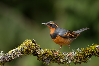 Varied Thrush, Vancouver Island