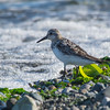 Sanderling - species 163 <br /> After a bit of debate of what species of sandpiper this was, my good buddy Mike Ashbee came through with a positive id of Sanderling.   A bird i am sure I have seen before but never id'ed so not only a new one for the year but also a lifer.