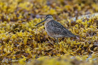 Long or Short Billed Dowitcher?