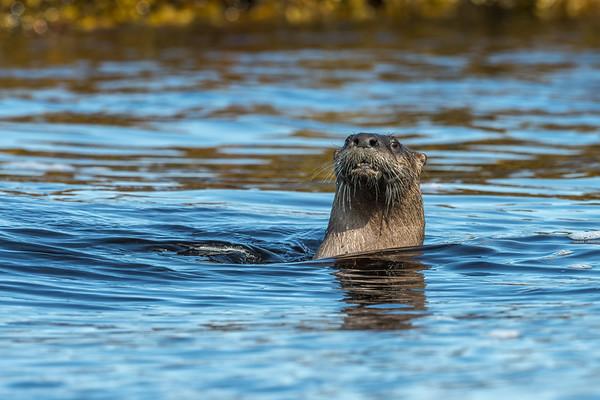 Mother Otter