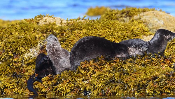 River Otters taking time for a little rub and relaxation. they appear to be enjoying life.