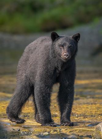 Stare Bear's approach.