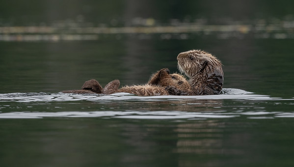 Mother Sea Otter and pup.