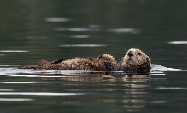 Mom and Baby Sea Otters