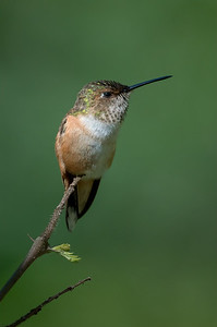 Rufous Hummingbird female