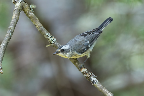 Juvenile Black-throated Grey Warbler