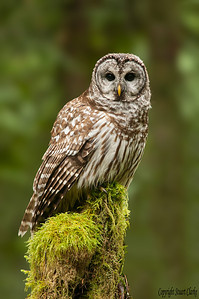 Barred Owl in Older Growth Forest